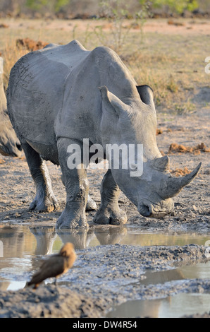White rhinoceroses (Ceratotherium simum), after a mud bath, at waterhole, Kruger National Park, South Africa, Africa - Stock Photo