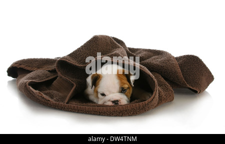 cute puppy hiding - english bulldog puppy hiding under a towel - 8 weeks old - Stock Photo