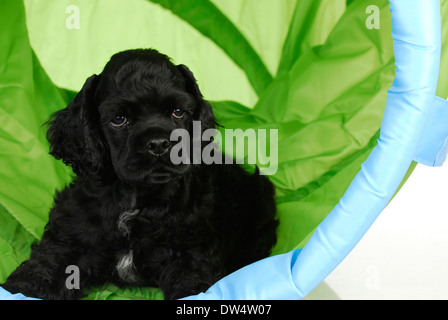 puppy training - puppy playing in an agility tunnel - 8 weeks old - Stock Photo