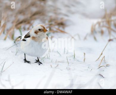 Snow Bunting Plectrophenax nivalis in winter plumage at Aviemore Ski Centre, Cairngorms, Scotland - Stock Photo