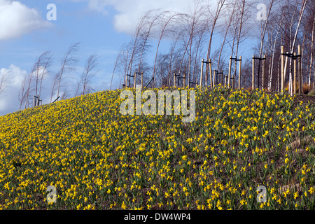 Daffodil covered bank in the Queen Elizabeth Olympic Park, Stratford. - Stock Photo