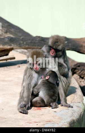 Japanese macaque nursing her baby, Macaca fuscata, Bioparco, Rome, Italy - Stock Photo