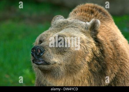 Brown bear, Ursus arctos, Bioparco, Rome, Italy - Stock Photo