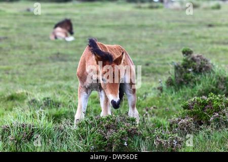 Young wild pony , Bodmin Moor, Cornwall, England - Stock Photo