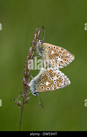 Adonis blue butterfly, Lysandra bellargus - Stock Photo
