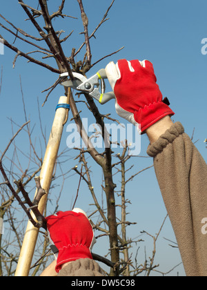 Gardener pruning apple tree branches with pruners - Stock Photo