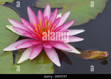Pink water lily Nymphea - Stock Photo