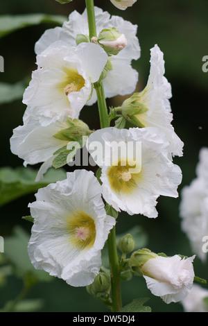 Common hollyhock white flowers close up Alcea rosea - Stock Photo