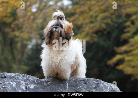 White Shih Tzu Dog Chrysanthemum Dog Running On Grass In The Uk