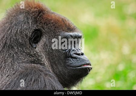 Western Lowland Gorilla (Gorilla gorilla gorilla), female - Stock Photo