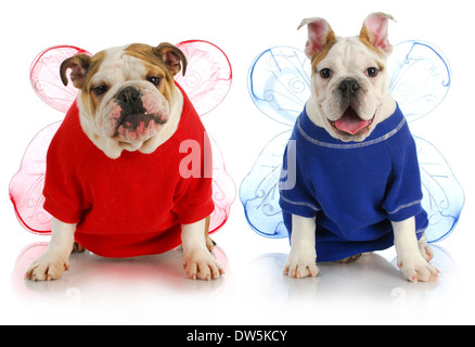 dog angels - two english bulldogs wearing angel costumes  - Stock Photo