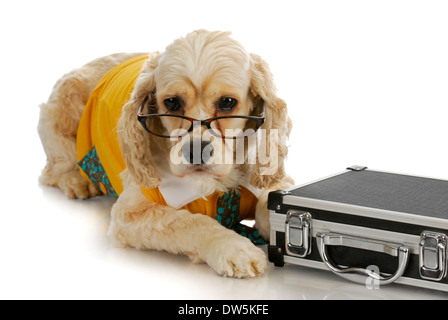 working dog - american cocker spaniel business man with briefcase on white background - Stock Photo