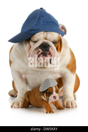 dog father and son - english bulldog father with four week old son wearing hats sitting on white background - Stock Photo
