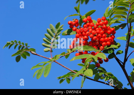 Rowan Ash or Mountain Ash (Sorbus aucuparia), berries, North Rhine-Westphalia, Germany - Stock Photo
