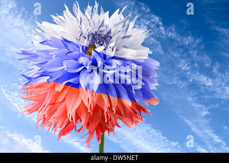 Flower of dahlia as flag of Russia on background of blue sky - Stock Photo
