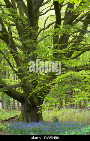 Bluebells growing beneath an ancient pollarded Beech tree in Savernake Forest, Marlborough, Wiltshire, England. - Stock Photo