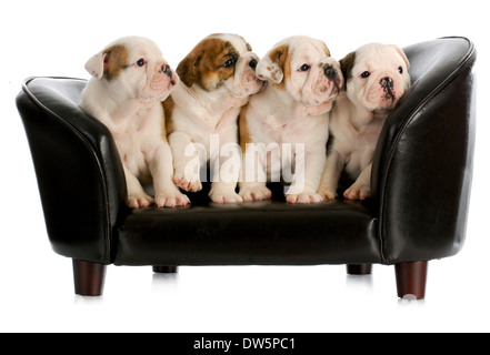 litter of english bulldog puppies sitting on a dog couch with reflection on white background - Stock Photo