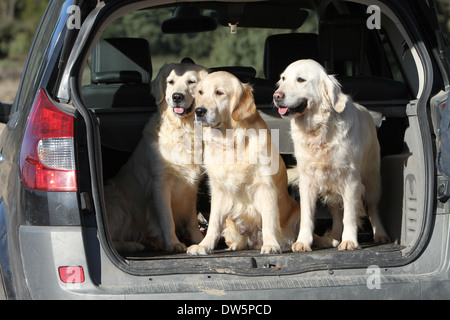 Dog Golden Retriever / three adults in the trunk of the car - Stock Photo