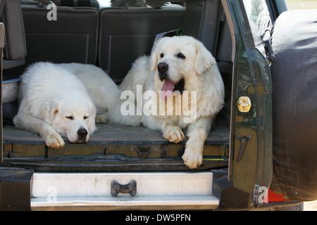 Dog Polish Tatra Sheepdog / Tatra Mountain Sheepdog / Podhale / adult and young lying in the trunk of the car - Stock Photo