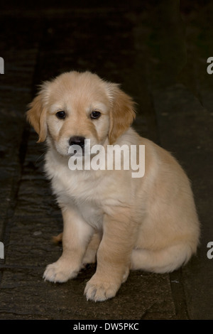 Dougie, Yorkbeach Golden Sea Boat, 8 week old golden retriever puppy, sits in back garden of breeder - Stock Photo