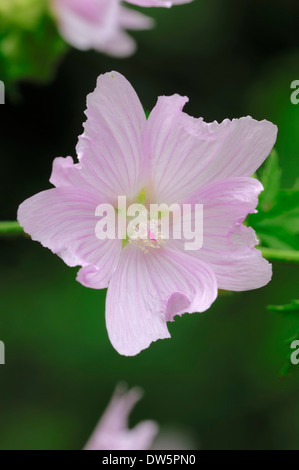 Hollyhock Mallow, Greater Musk-Mallow, Cut-leaved Mallow or Vervain Mallow (Malva alcea), North Rhine-Westphalia, - Stock Photo