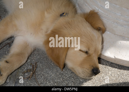 Mylo, 10 week old Golden Retriever puppy, head lying in shade by mock stone table on patio - Stock Photo