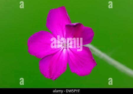 Rose Campion (Lychnis coronaria, Silene coronaria) - Stock Photo