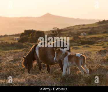 Dartmoor pony and foal grazing on moorland with Brentor beyond, Dartmoor, Devon, England. Summer (June) 2013. - Stock Photo