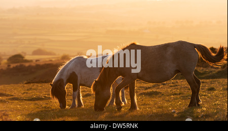 Dartmoor ponies grazing on moorland, Dartmoor National Park, Devon, England. Summer (June) 2013. - Stock Photo