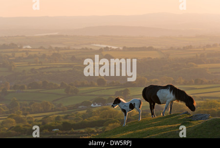 Dartmoor pony and foal grazing on moorland, backed by rolling Devon countryside, Dartmoor, Devon, England. Summer - Stock Photo