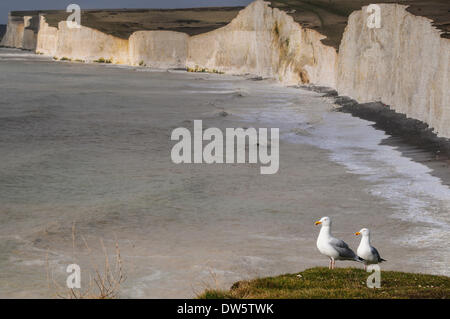 Birling Gap and Seven Sisters, East Sussex, UK..28 Feb 2014..Gulls resting on the cliff top in the glorious spring - Stock Photo
