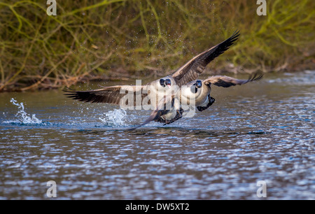 Canada goose defending its territory from a young male goose. - Stock Photo