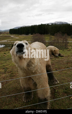 Kincraig, Scotland, UK. 28th February 2014. Polar Bear Walker and Arktos wait for their lunchtime feed at the Highland - Stock Photo