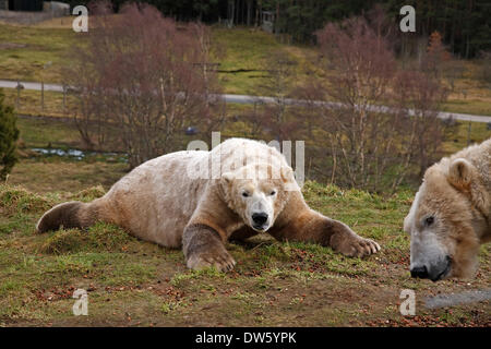 Kincraig, Scotland, UK. 28th February 2014. One Polar Bear decides to have a lie down while the other looks for - Stock Photo