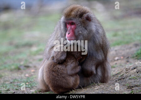 Kincraig, Scotland, UK. 28th February 2014. A baby snow monkey huddles into its mother for warmth at the Highland - Stock Photo