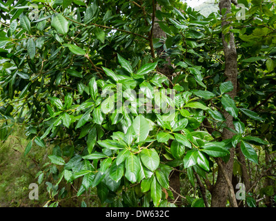 Laurel leaves grow in the laurel forest of Los Tiles / Los Tilos on the Canary Island of La Palma. - Stock Photo