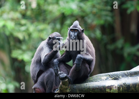 Sulawesi crested macaque (macaca niger) at the Singapore Zoo. - Stock Photo