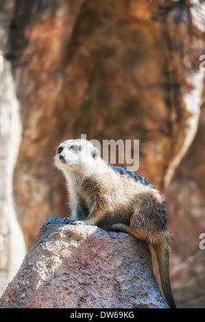 Meerkat (suricata suricatta) at the zoo. - Stock Photo
