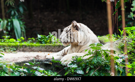 White bengal tiger at the Singapore Zoo. - Stock Photo