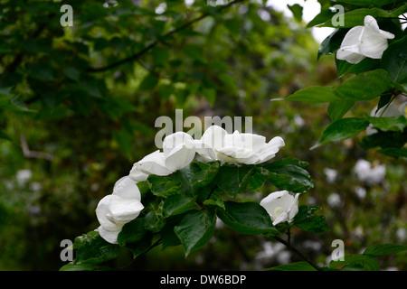 white flowers of flowering dogwood cornus florida. Black Bedroom Furniture Sets. Home Design Ideas