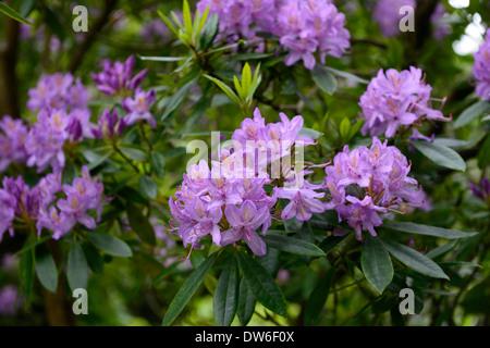 rhododendron ponticum purple flowers flower flowering evergreen green leaves foliage tree trees - Stock Photo