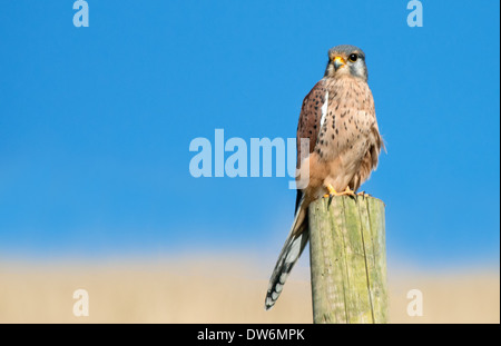 Male Kestrel, Falco-tinnunculus Perches On Fence Post. Uk - Stock Photo