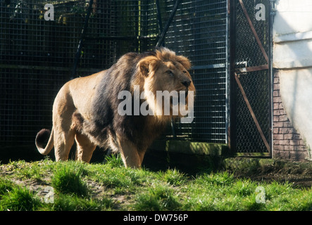 Male Lion at Chessington Zoo -1 - Stock Photo