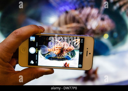 Photographing a Lionfish with camera phone at Underwater Zoo aquarium at Dubai Mall in United Arab Emirates - Stock Photo