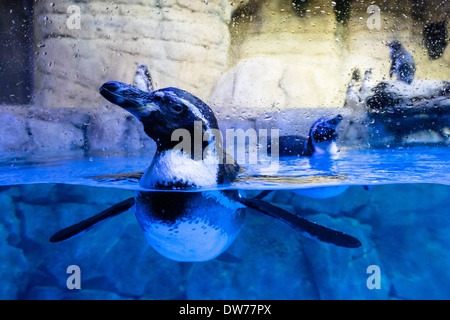 Penguin tank at Underwater Zoo aquarium at Dubai Mall in United Arab Emirates - Stock Photo