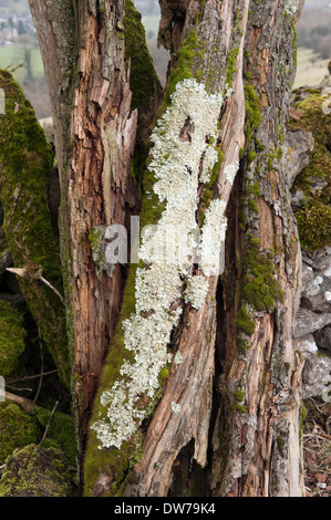 Lichen on a dead hawthorn tree - Stock Photo
