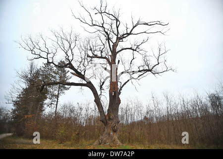 Color shot of a very old oak tree - Stock Photo