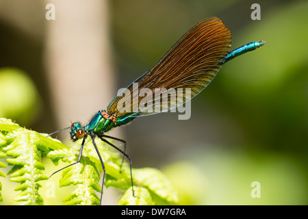 Immature male Beautiful demoiselle, Calopteryx virgo, showing brown rather than irridescent blue wings - Stock Photo