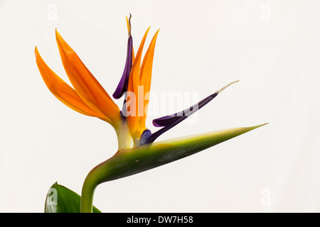 Close up of a double flower of the bird of paradise plant, Strelitzia reginae, flowering indoors in a Plymouth garden - Stock Photo