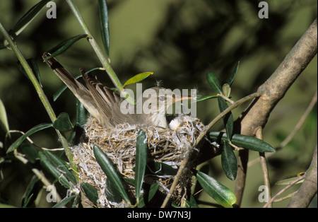 OLIVE-TREE WARBLER (Hippolais olivetorum) adult female sitting on nest in olive tree Lesvos Greece - Stock Photo